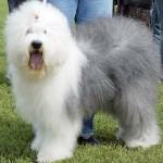 Отзыв владельца о породе собак бобтейл