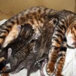 Кошка тойгер с малышами фото