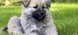 Кавказская овчарка — собака одного хозяина