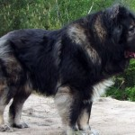 Кавказский волкодав фото