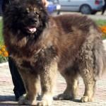 Взрослый кавказец собака
