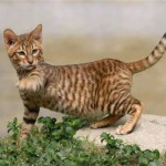Кот породы тойгер картинка