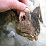 Лишай (грибок) на ушах у кота