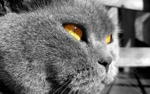 Британская короткошерстная кошка основные сведения