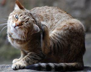 Поведение кошки при лишае