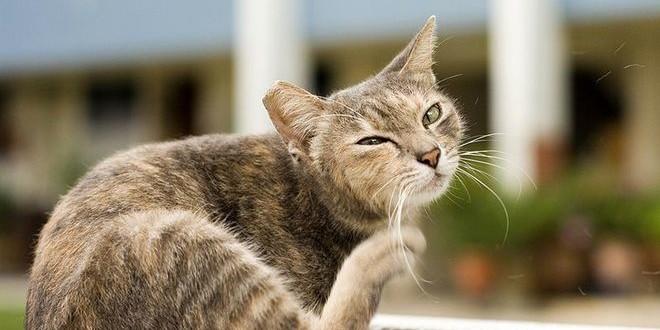 Спорам — бой! — лечим кошачий лишай