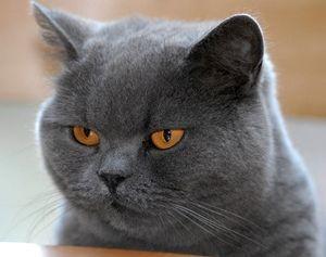 Кот британской породы характер
