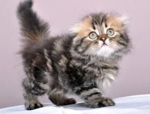 Британский котенок длинношерстный