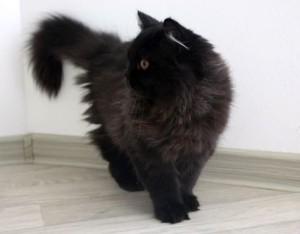 Пушистая британская кошка