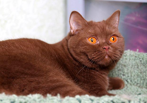 Британская кошка циннамон