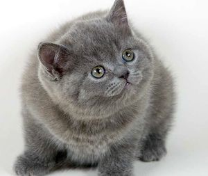 Ловят ли британские кошки мышей