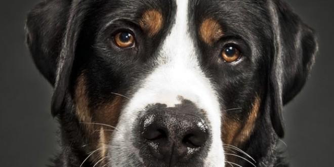 Гросс зенненхунд — пес с большим сердцем