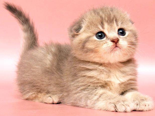 Шотландский котенок скоттиш-фолд