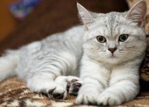 Характеристика британских кошек