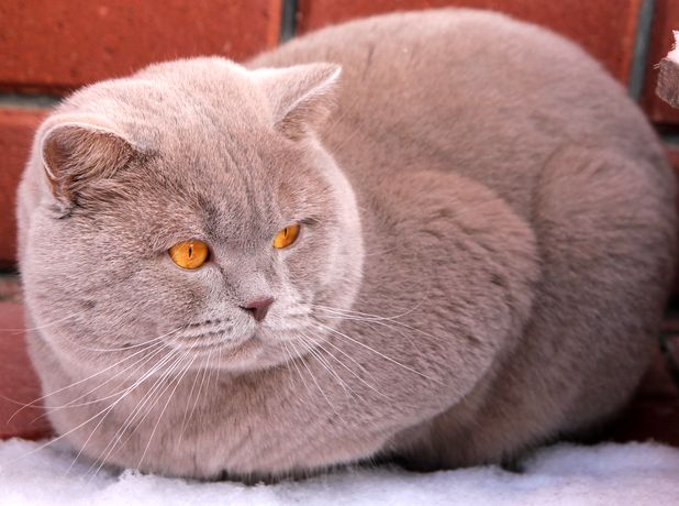 Британский кот окраса фавн