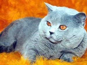 Особенности британских котят