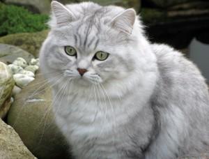 Кошка британика