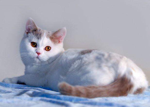 Британский кот лиловый арлекин