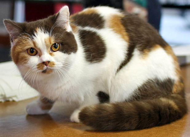 На картинке британский кот шоколадно-красный биколор