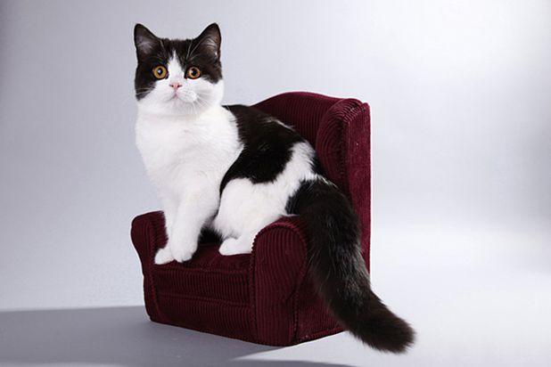 Британский кот черный арлекин