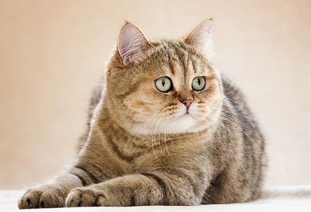 Золотой затушеванный британский кот