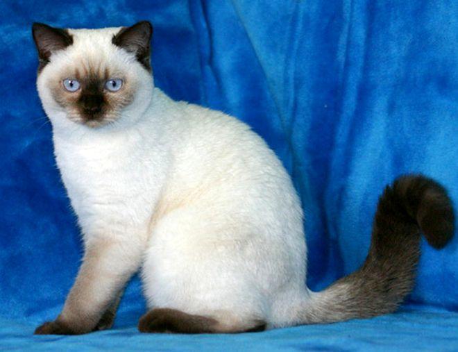 Фото британского котенка шоколад колор-пойнт