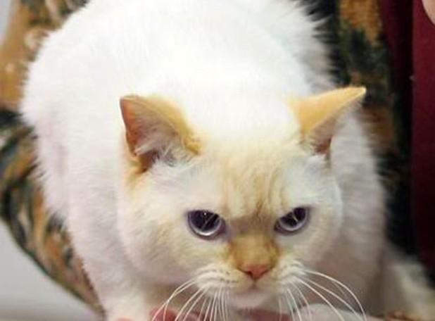 Британский рыжий кот колор-пойнт