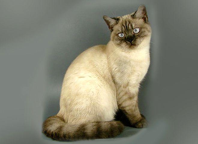 Британский котенок черный колор-пойнт