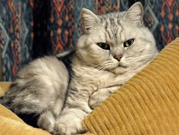 Британец голубой тигровый табби