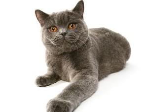 Повадки британских котов