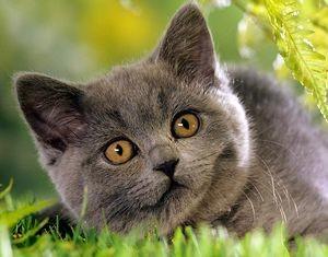 Отличительные черты британских котят