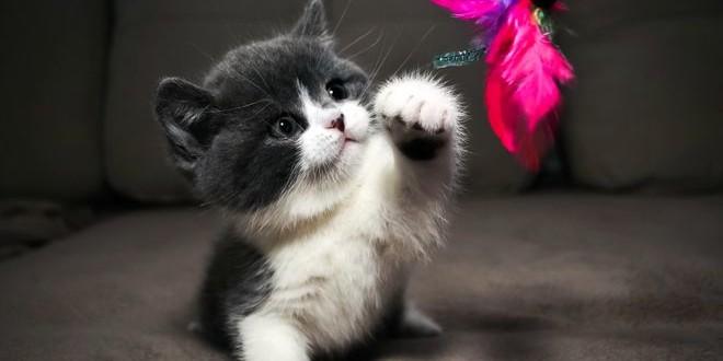 Какой бывает британская кошка — все окрасы в картинках
