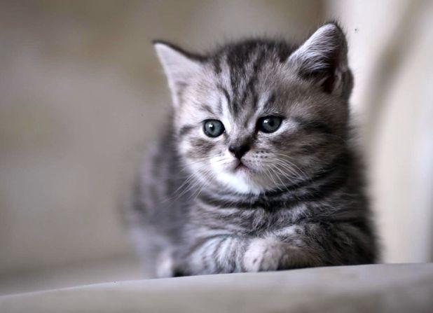 Шотландский котенок скоттиш-страйт
