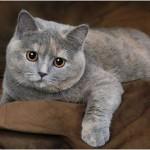 Кот британец голубо-кремовая дымчатая черепаха фото