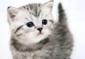 Британский котенок полосатый