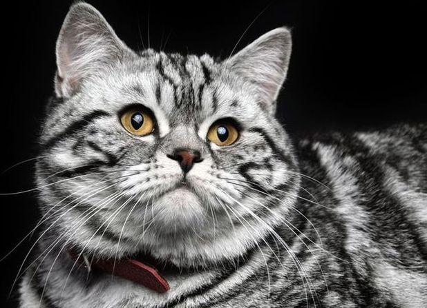 Шотландский прямоухий кот