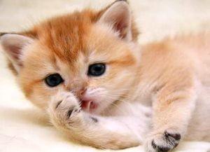 Имя для кошки британской породы