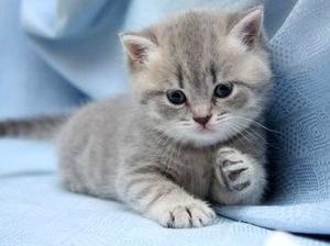 Клички для британских кошек