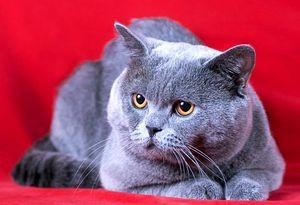 Клички британских котов