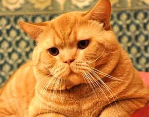 Клички для котов британцев