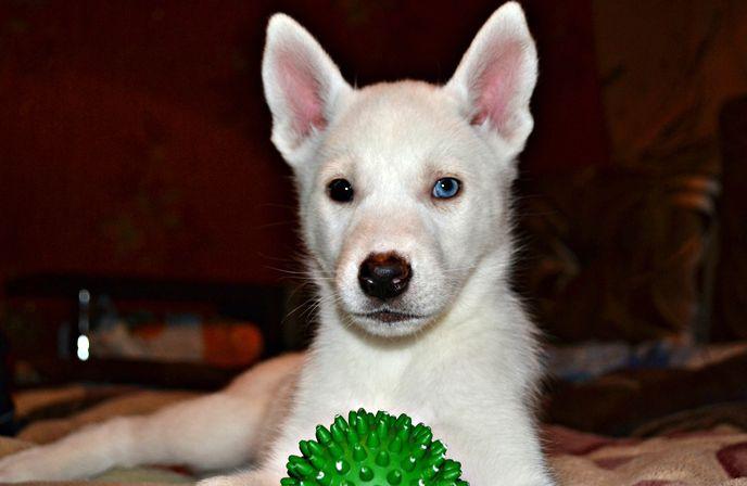 Фото щенка хаски