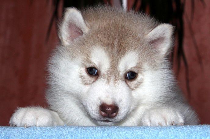 Палевый щенок сибирской хаски