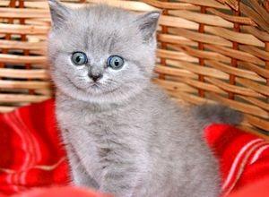 Как назвать котенка мальчика британского