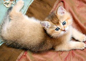 Имена для котят девочек британцев