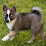 Помски - дизайнерская собака