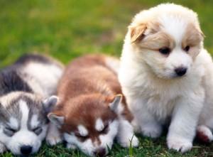 смесь хаски с маламутом фото собак