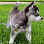 Фото щенка маленькой аляскинской хаски