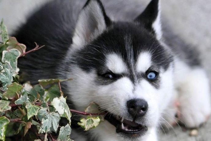 Голубоглазый щенок хаски