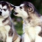 Фото собак породы помски
