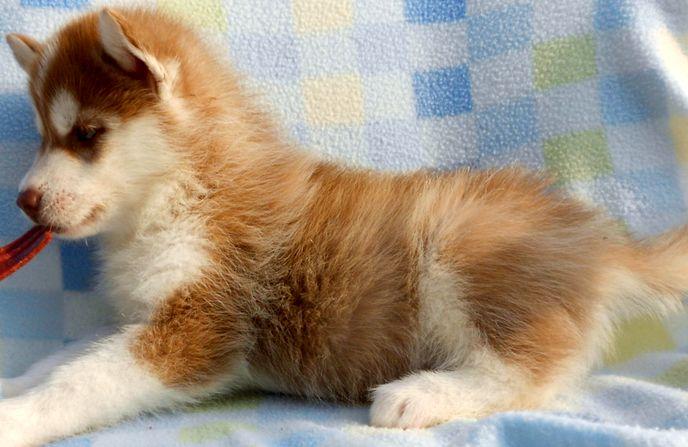 Фото рыжего щенка сибирской хаски